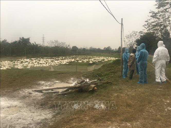 Dịch cúm gia cầm đã lan rộng đến 10 tỉnh thành