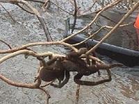 Lũ lụt đi qua làm lộ diện nhện khổng lồ