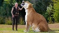 con hổ lai sư tử cực hiếm xuất hiện ở Nga